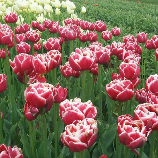 tulip montessori